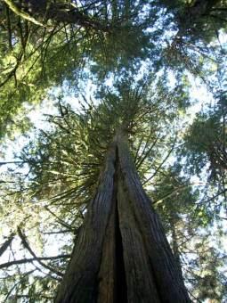 cedar-tree.jpg