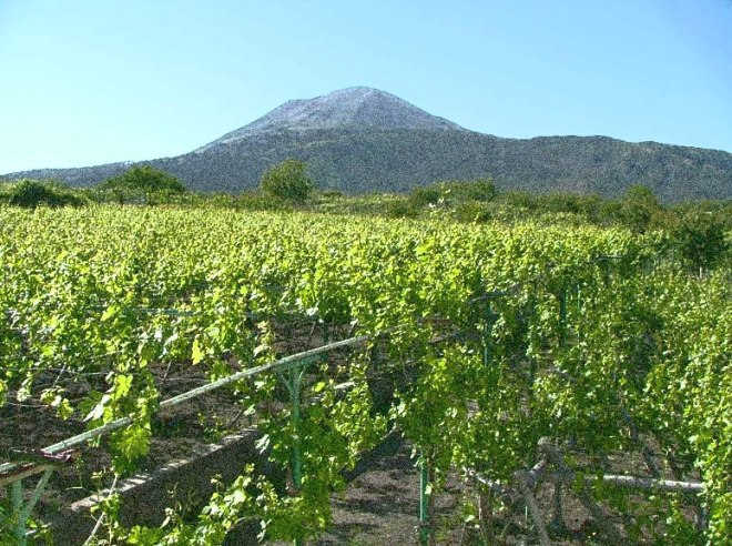 Vesuvius-Vineyard